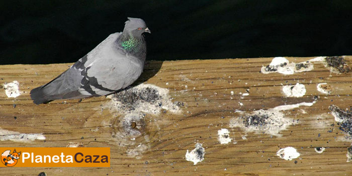 cacas heces de palomas